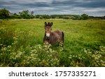 Mule in a field in thy  denmark