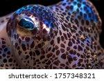 Bobtail Squid A Tiny Sparkling...
