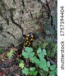 Small photo of Spotted salamander on a forest path (salamander)