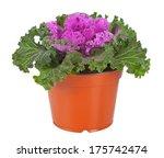 Ornamental Purple Kale Or...