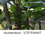 Green Bananas Growing In Tree