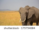 african elephant   | Shutterstock . vector #175754084