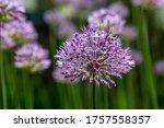 allium flowers of decorative...