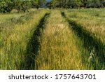 Grain Field In Spring With...