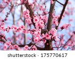Blossoming Cherry Tree Branch