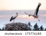 two stork on nest closeup | Shutterstock . vector #175776185