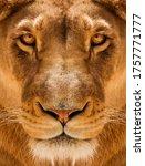 Lioness Close Up Portrait  Face ...