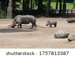 Mother And Baby Rhinoceros In...