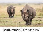 Two Adult Black Rhino Walking...