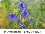 Delphinium Grandiflorum Blue...