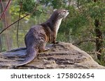 River Otter   Lontra Canadensis ...