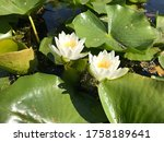 Water Lilies Floating In A...