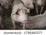 Fattening Pig Portrait In...