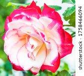 "Hybrid Tea Rose ""double Delight""..."