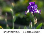 Blossoming Iris Flower In The...