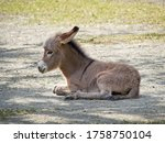 Side View On Young Baby Donkey...
