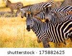 zebra' s grazing on grassland... | Shutterstock . vector #175882625
