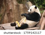 Panda Bear Snacking On Bamboo