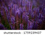 Blooming Sage Purple Flowers In ...