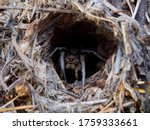 A Female Wolf Spider In Its...