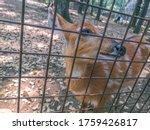 Sitatunga Or Marshbuck Animal...