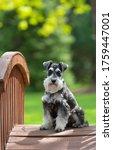 Miniature Schnauzer Dog On...