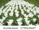 White Flowers In Field....