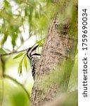Woodpecker In A Willow Tree