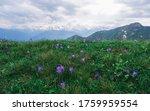 Wild Lilac Wildflowers With...