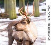 Forest Reindeer  European ...