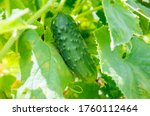 Long Cucumbers On A Branch In A ...