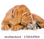 Stock photo bordeaux puppy dog kisses bengal kitten isolated on white background 176014964