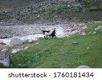 Goat Eating Grass Along River