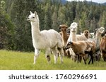 An alpaca leads a group of other alpacas and sheep in the pasture.