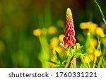 Summer Lupin Flower Bloom Macr...