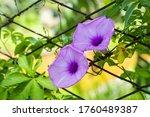 Purple Flowers On The Fence On...
