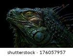 Green Iguana The Green Iguana...