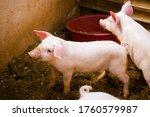 Little Pink Piglets In A Pen A...
