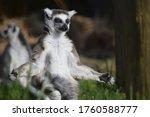 Meditating Ring Tailed Lemur...