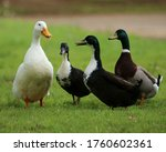 Ducks And Geese At Duck Pond