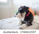 Cute Dog Miniature Schnauzer...