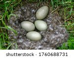 Eider Duck  Somateria...