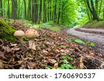 Two Young Mushrooms Grow In Th...