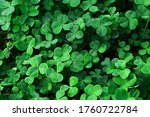 Clover Leaves With Water Drops...