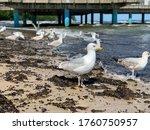 Flock Of White Sea Gulls Close...