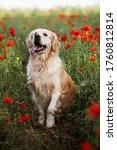 Labrador Retriever Dog. Golden...