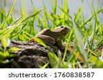 Frog Amphibian Grass Log Macro
