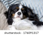 cute cavalier spaniel lying on... | Shutterstock . vector #176091317