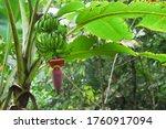 Banana Blossom Or Heart Banana...