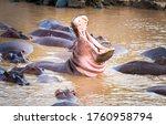 Hippopotamus Open Mouth In Water